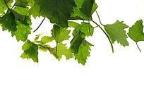 碧绿的绿色树叶