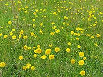 草甸野罂粟