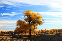 额济纳旗一棵胡杨树