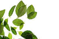 高清拍摄白背景上的绿色树叶