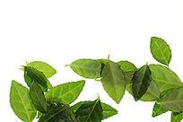 高清拍摄白色背景上的绿色树叶
