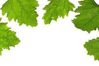 高清拍摄白色背景上的绿色树叶叶脉纹理大图