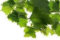 高清拍摄绿色树叶