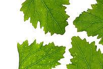 高清拍摄绿色树叶叶脉大图