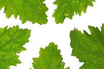 高质感拍摄绿色树叶叶脉纹理