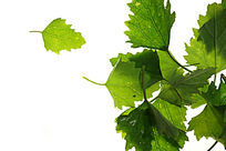 高质感拍摄绿色树叶叶脉纹理大图