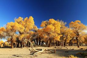 胡杨林枯树
