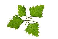 交错的绿色树叶叶脉纹理大图