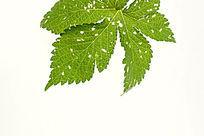 绿色树叶叶脉大图