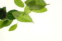 绿色树叶叶脉高清大图