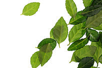 绿色树叶叶脉高清拍摄