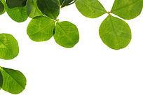 绿色树叶叶脉纹理高清大图