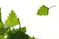 绿色树叶叶脉纹理高清拍摄