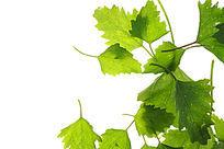绿色树叶叶片高清拍摄