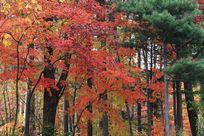 秋天的红枫树