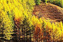 塞罕坝森林之秋