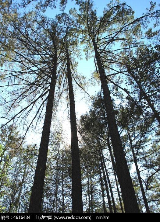 挺拔的松树图片,高清大图_森林树林素材