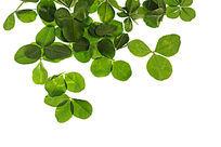 鲜艳的绿色树叶叶高清拍摄