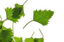 油亮的绿色树叶叶脉高质感大图