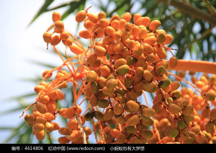 原创摄影图 动物植物 其它生物 棕榈的果实  请您分享: 素材描述:红动