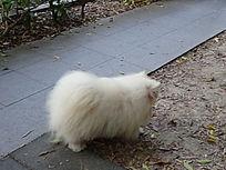 白色的毛毛狗背面