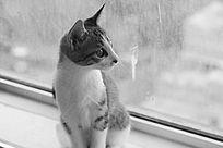 黑白窗口远眺的条纹猫咪