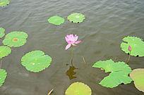 湖中一朵盛开的荷花