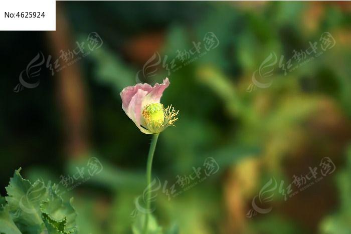 即将凋落的罂粟花花蕾图片
