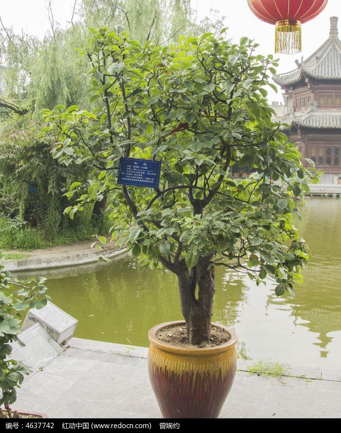 盆栽木瓜树