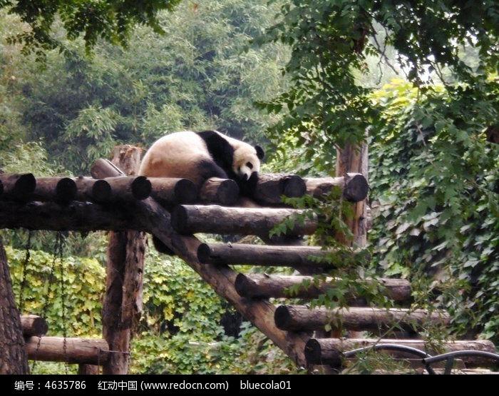 原创摄影图 动物植物 陆地动物 熊猫睡觉