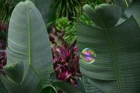 芭蕉叶上的气泡