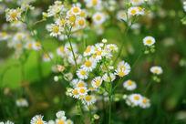 绿色背景中的野菊花