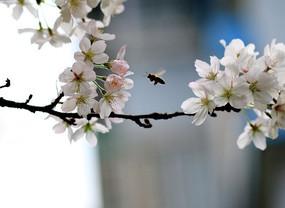 蜜蜂和樱花