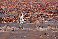 湿地沼泽中的灰鹤