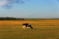 田边吃草的牛