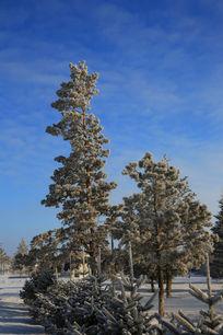 雪地上的樟子松