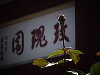 一枝玫瑰花蕾