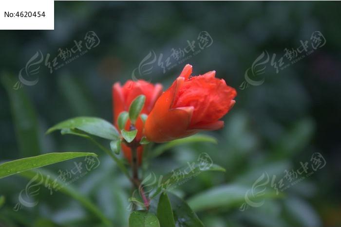 原创摄影图 动物植物 花卉花草 雨后红花