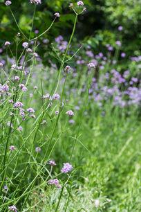 春天植物花卉花朵马鞭草