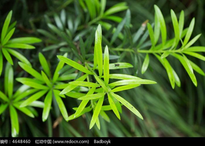 原创摄影图 动物植物 花卉花草 春天植物树叶绿叶迷迭香  请您分享