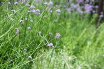 春天植物紫色花卉花朵马鞭草