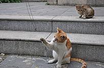 大猫伸手抓项链