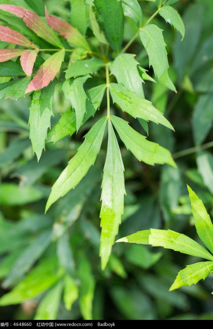 红叶树叶实物高清微距