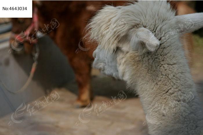 可爱的羊驼图片,高清大图