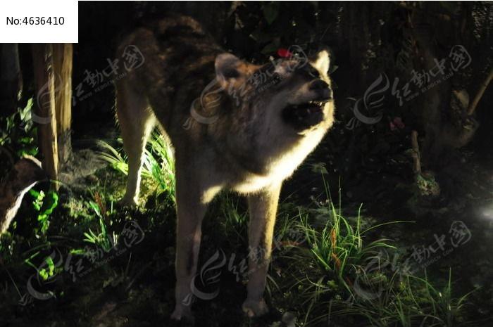 狼标本图片,高清大图_动物植物素材