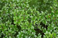 茂密的树叶绿叶植物微距