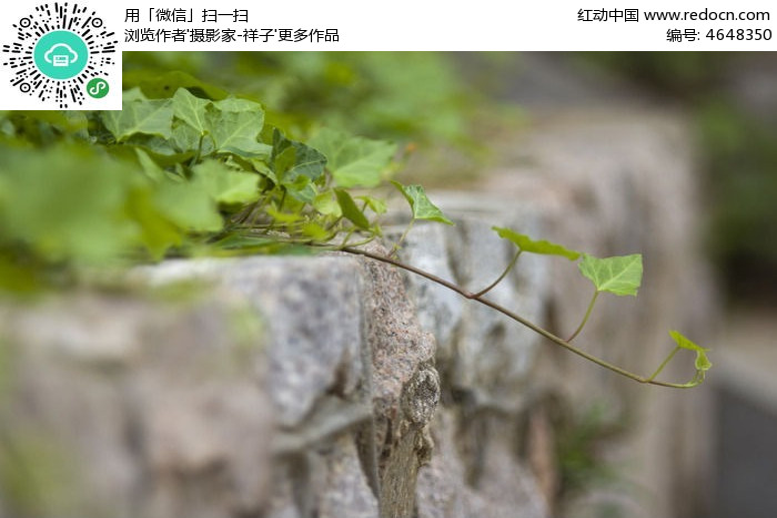 原创摄影图 动物植物 花卉花草 爬山虎叶子  请您分享: 红动网提供