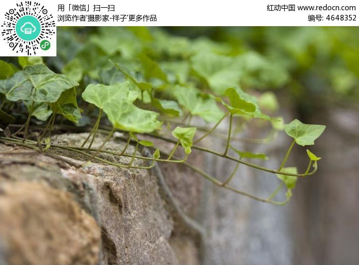 原创摄影图 动物植物 花卉花草 绿色爬山虎  请您分享: 红动网提供