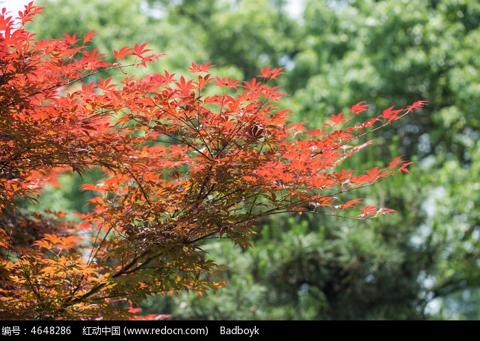 阳光植物绿叶红色枫叶