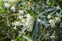 阳光植物树叶绿叶夹竹桃花卉花朵